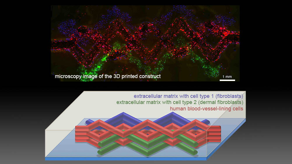 Engineers 3D Print Living Tissues with Blood Vessels ...